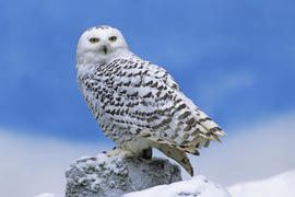 Snowy Owl Other