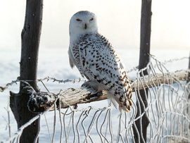 White Winter Owl