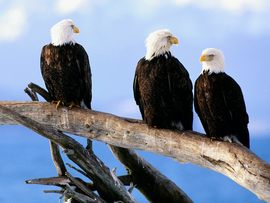 Wild And Bald Eagles