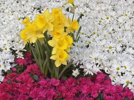 Brighton Narcissus And Daisy Flowers