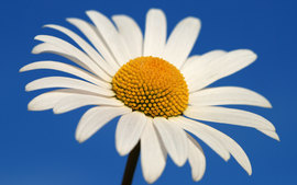Glowing White Daisy