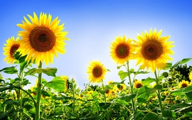 Gorgeous Sunflowers
