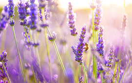 Lavender Flowers High Definition
