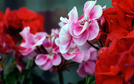 Pink Red Flowers
