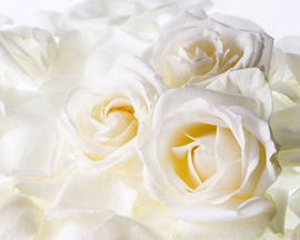 White Roses Desktop Wallpapers