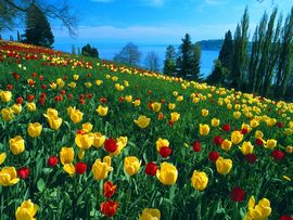 Field Of Tulips Germany