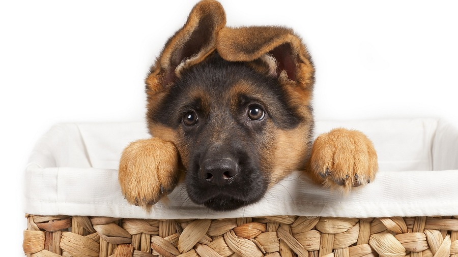 German Shepherd Puppies Wallpapers
