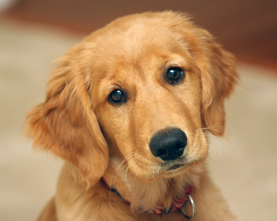 Golden Retriever Puppies Desktop Wallpaper - Wallpaper ...