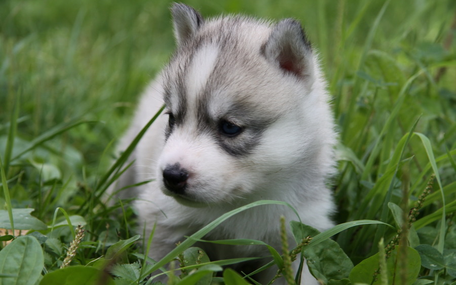 Husky Puppies Backgrounds - Wallpaper High Definition High Quality HD Wide Wallpaper for Widescreen