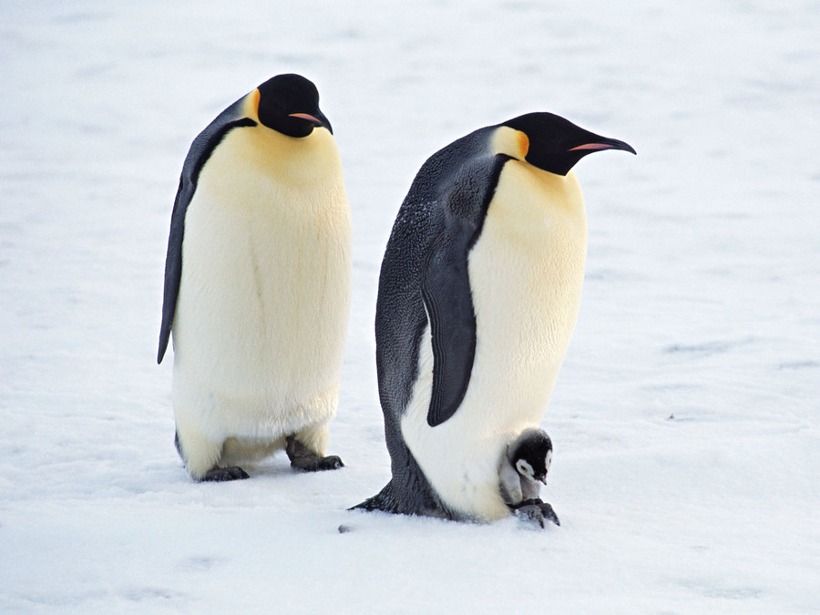 Arctic Penguins Pair