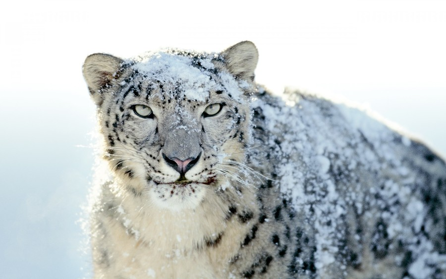 Snow White Leopard