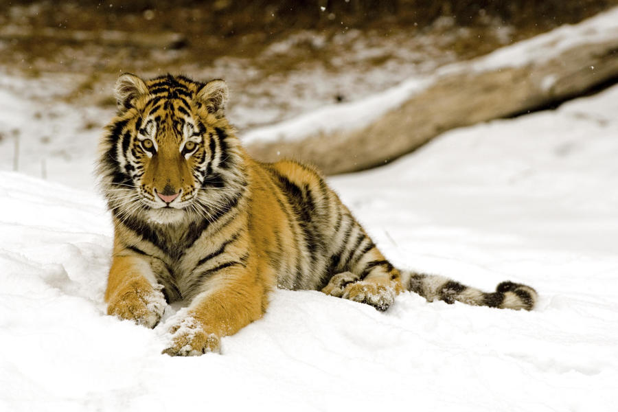 Snowy Afternoon Tiger Other