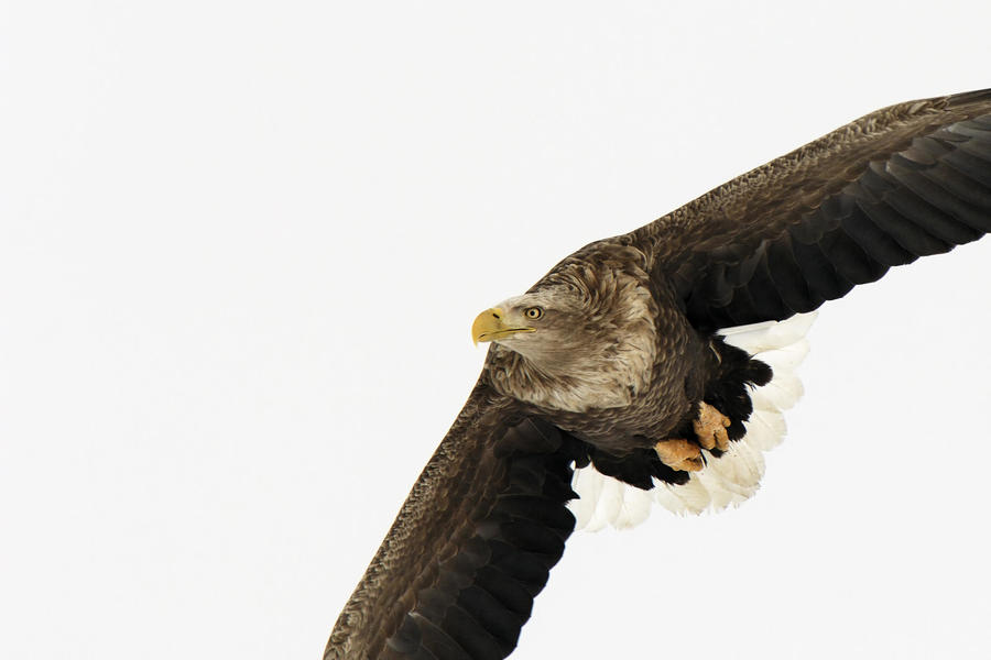 White Tailed Eagle Japan Other