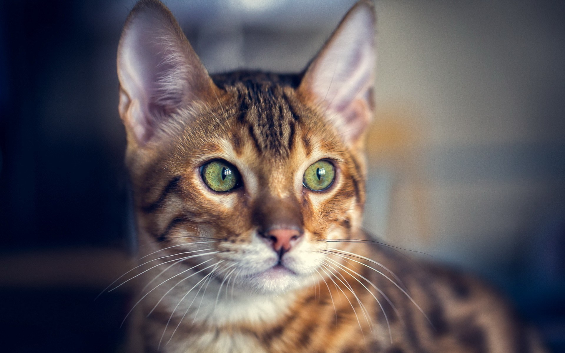 Cat Close Up Image Wallpaper High Definition High