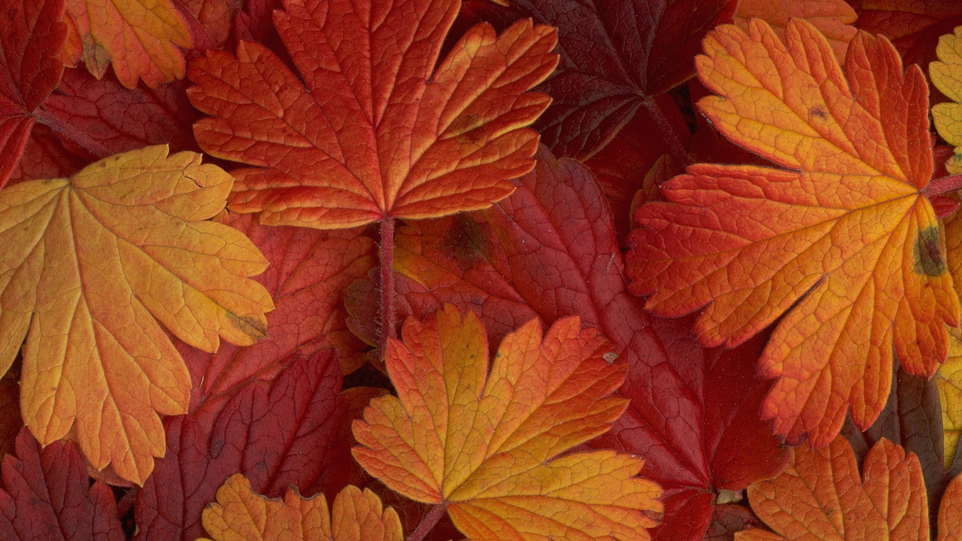 Maple Leaf Motors >> Beautiful Autumn Leaves - Wallpaper, High Definition, High ...