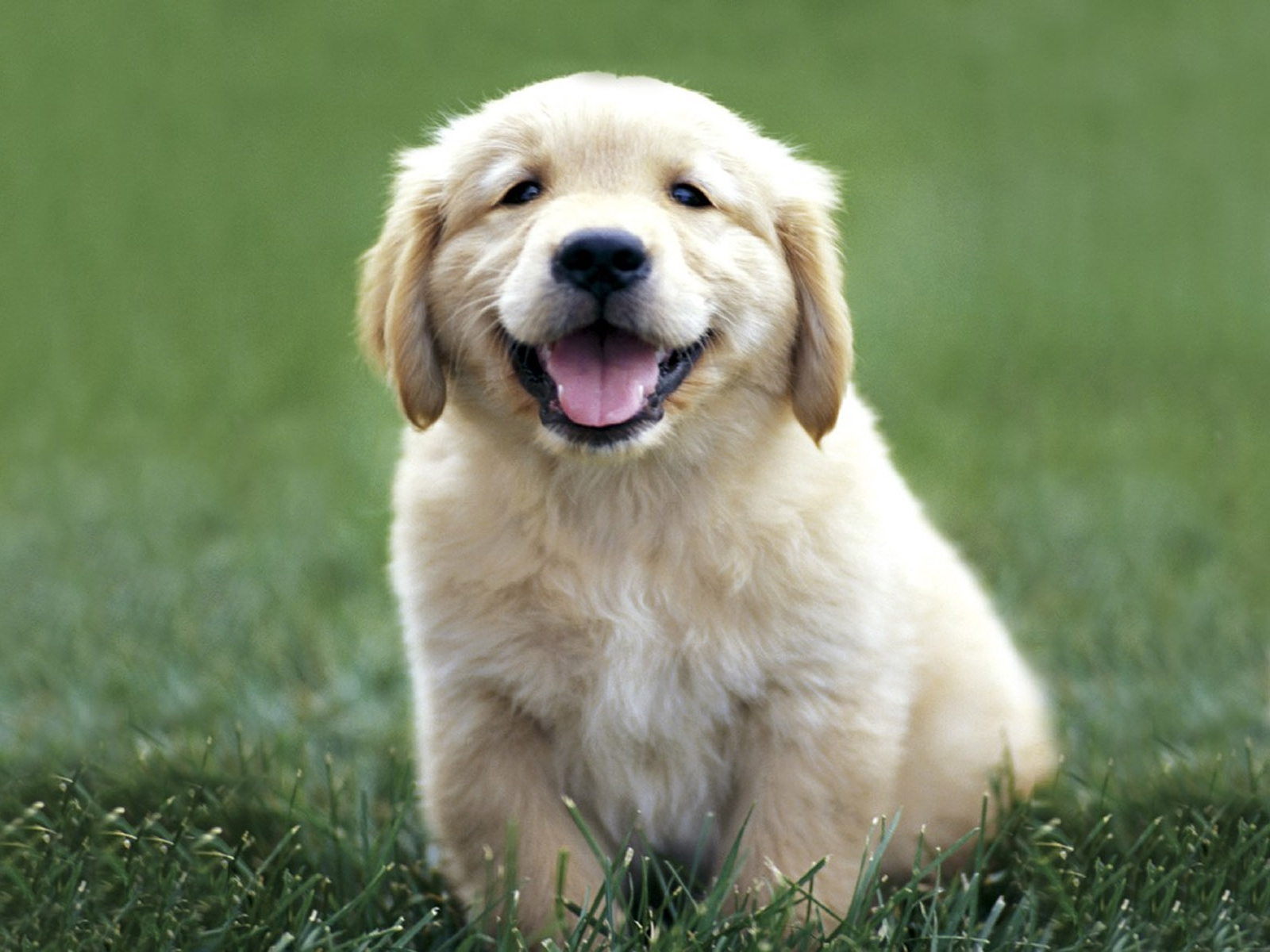 cute-golden-retriever-puppies_061439.jpg