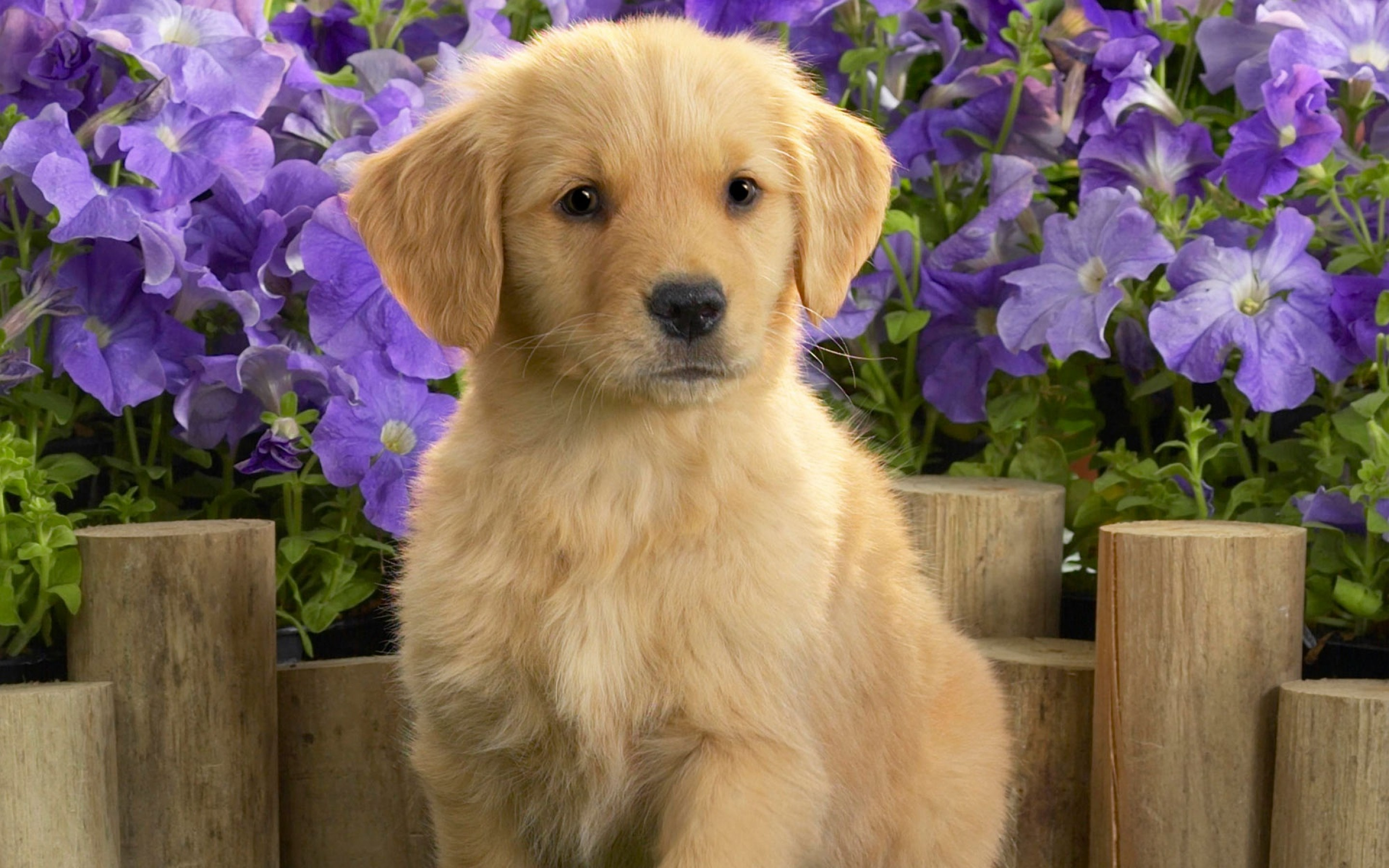Cute Golden Retriever Wallpaper High Definition High Quality