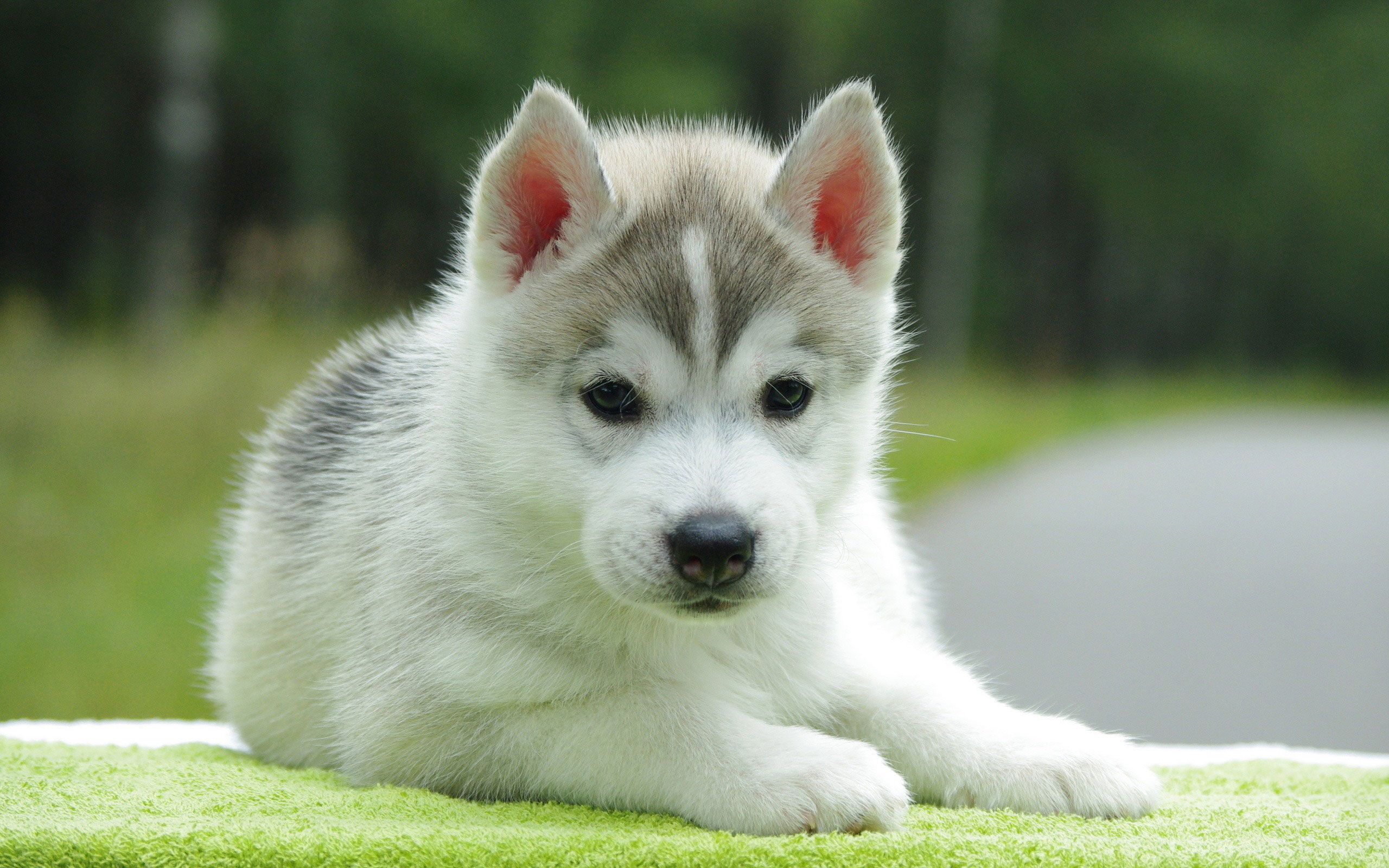 cute husky puppy wallpaper high definition high quality widescreen