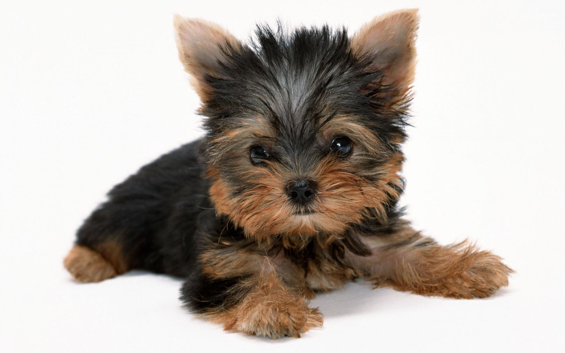 Cute Yorkie Puppies - Wallpaper, High Definition, High ...