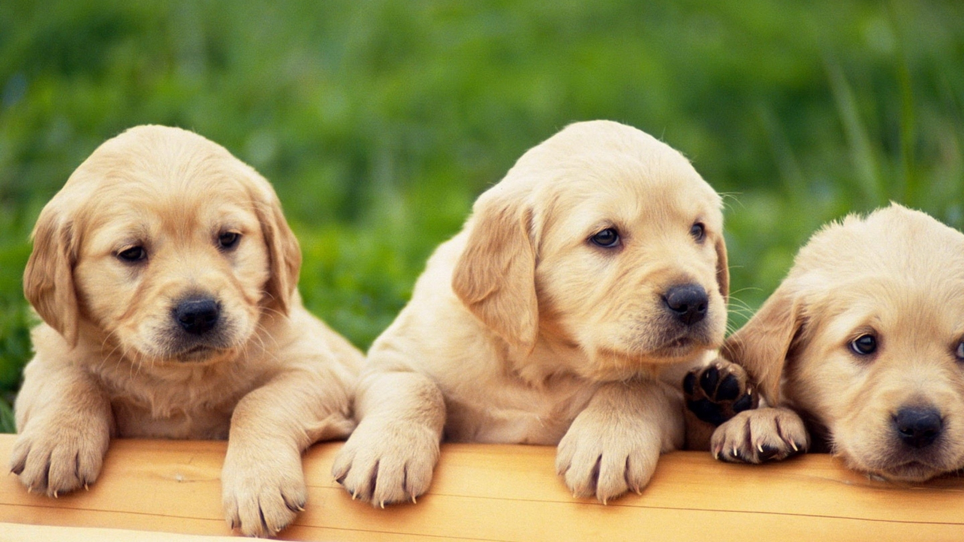 Golden Retriever Puppies Wallpaper High Definition High Quality