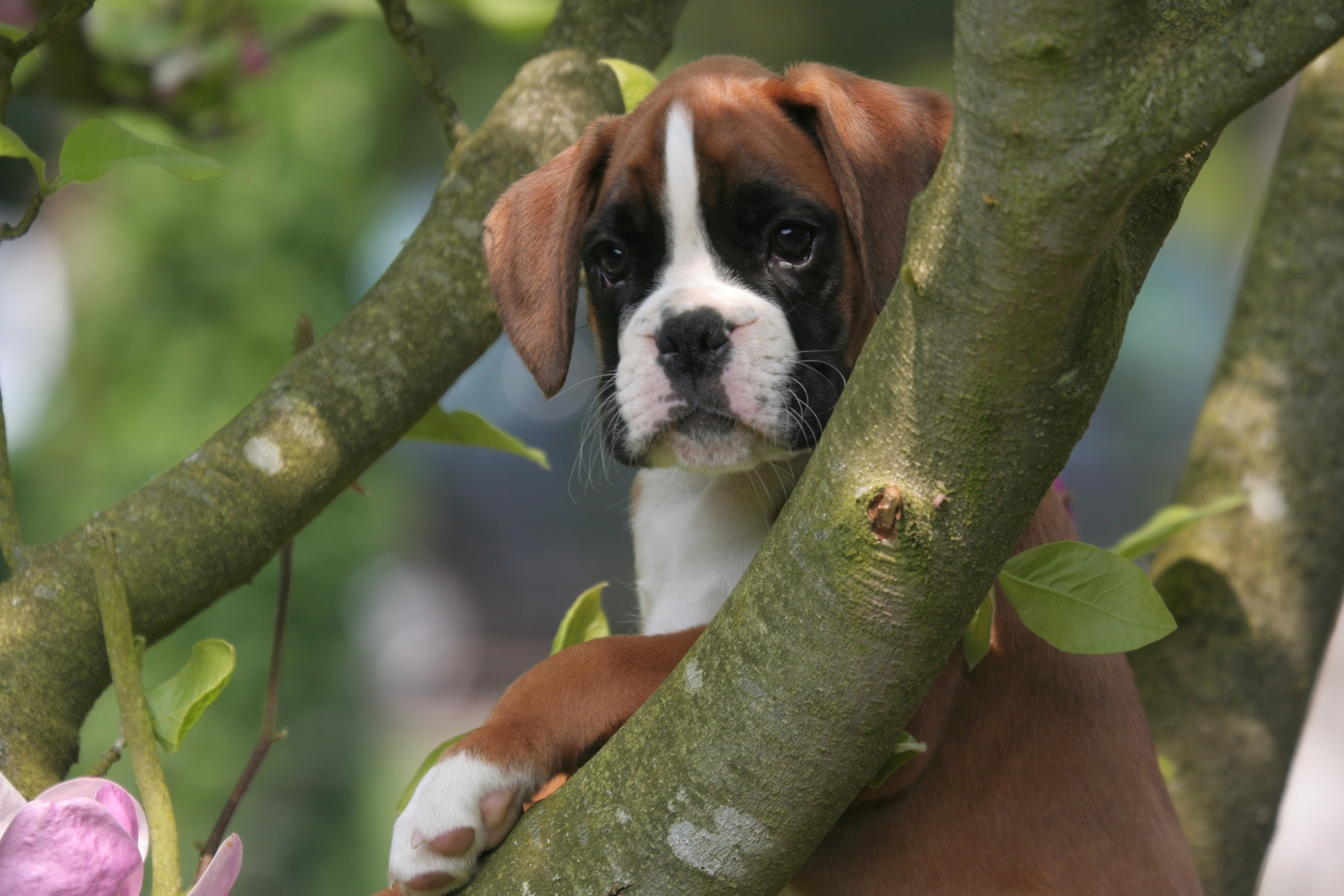lovely boxer puppies - wallpaper, high definition, high quality