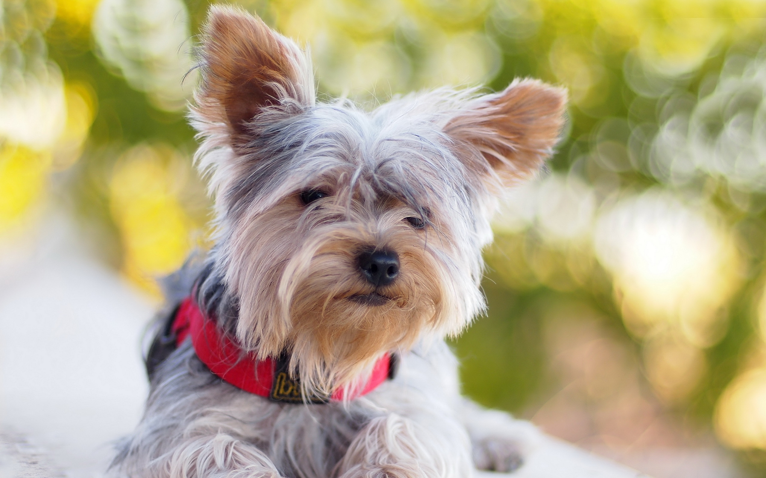 Lovely Yorkie Puppies Wallpaper High Definition High Quality Widescreen