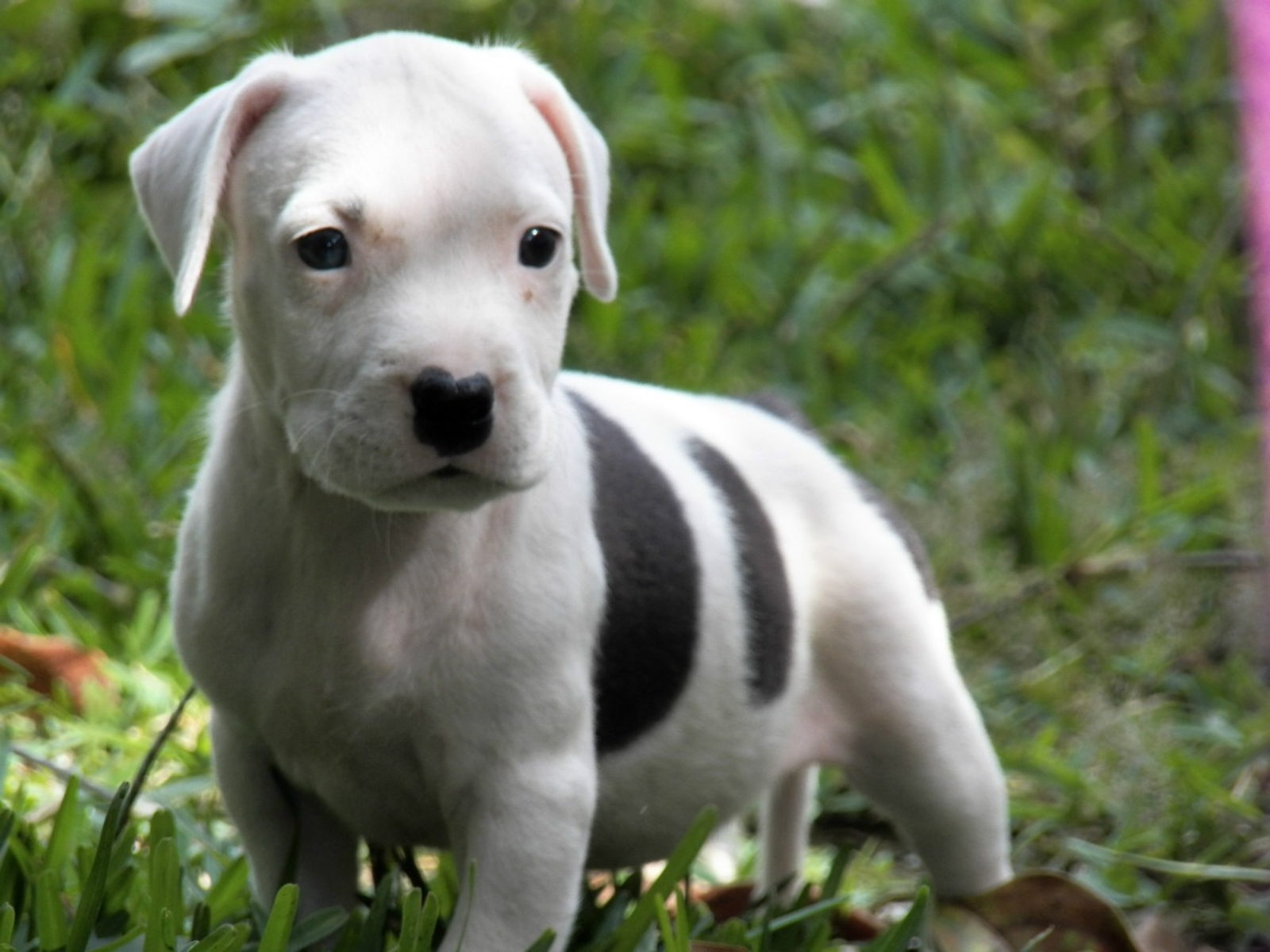 Pitbull puppies wallpaper high definition high quality - Pitbull dogs pictures wallpaper ...