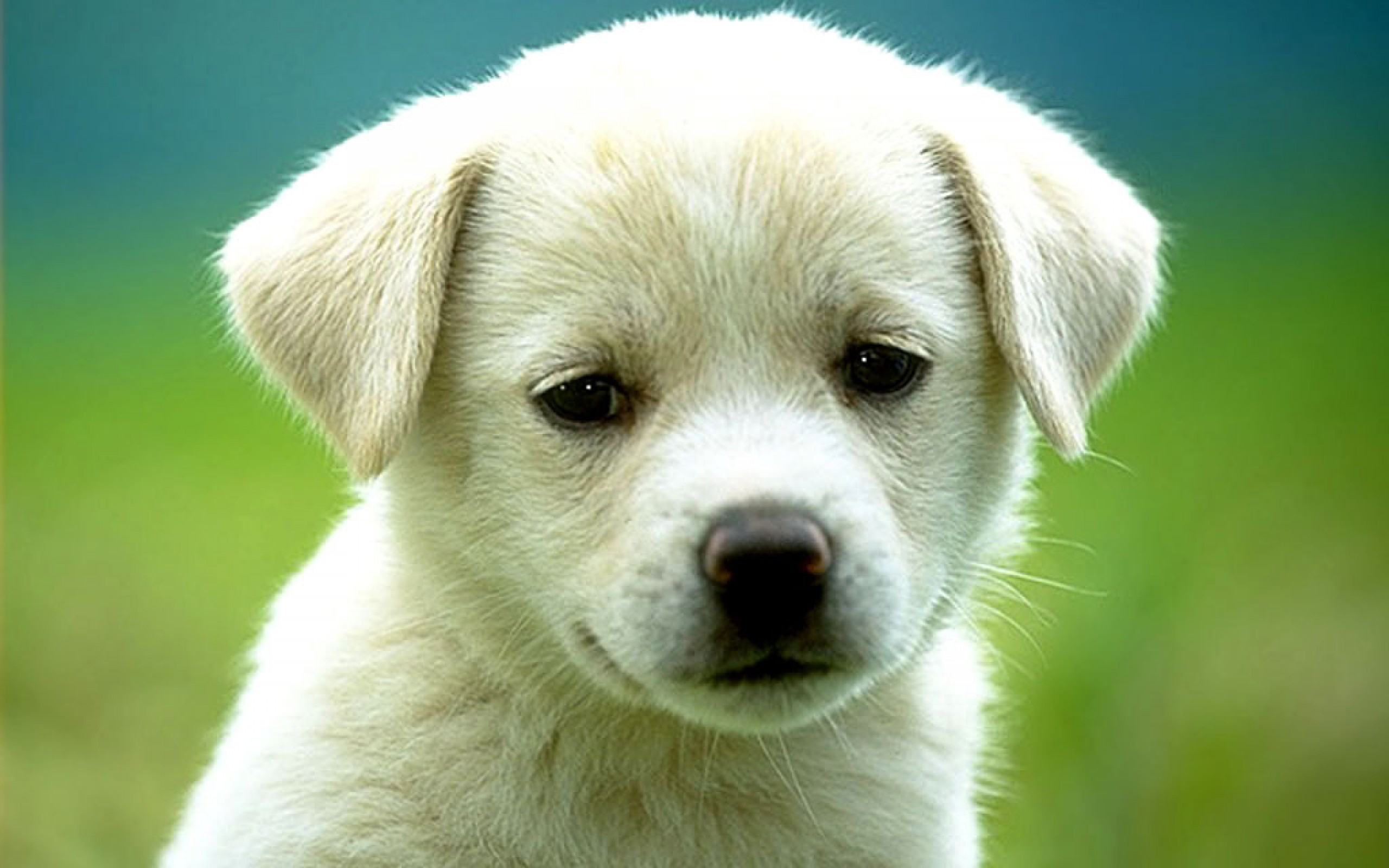 White Puppy Wallpaper High Definition High Quality Widescreen