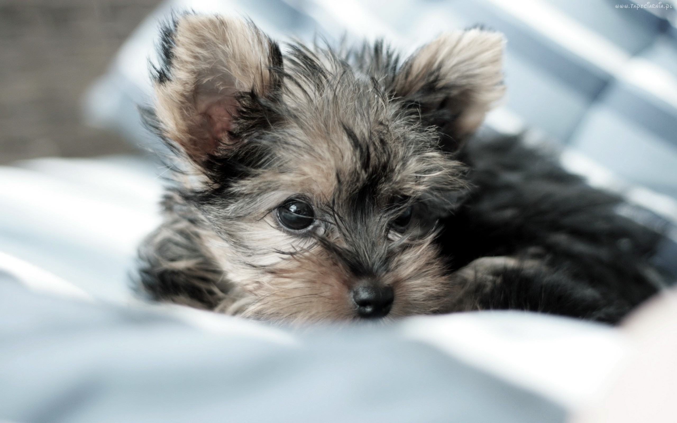 Yorkie Puppies - Wallpaper, High Definition, High Quality ...