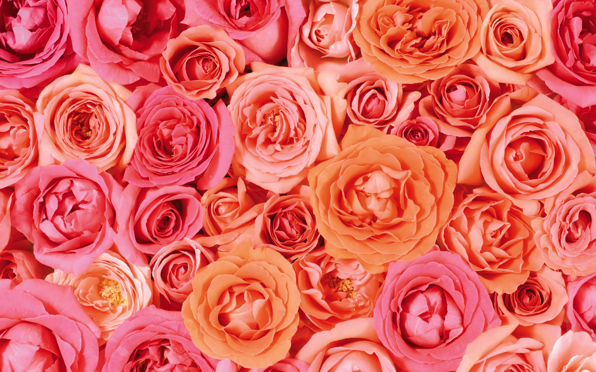 Valentines Day Roses Wallpaper Wallpaper High Definition High