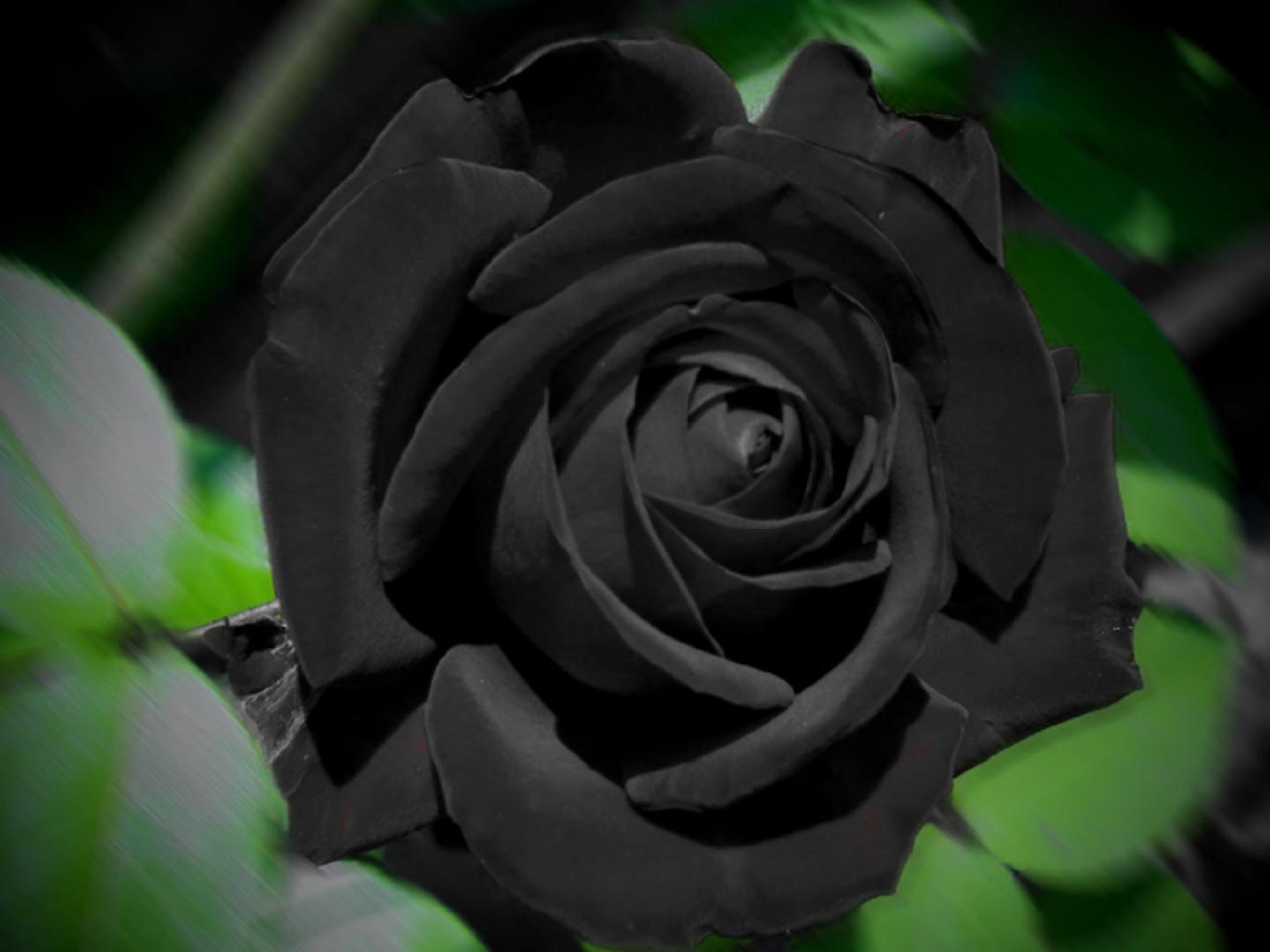 Black Rose - Wallpaper, High Definition, High Quality, Widescreen