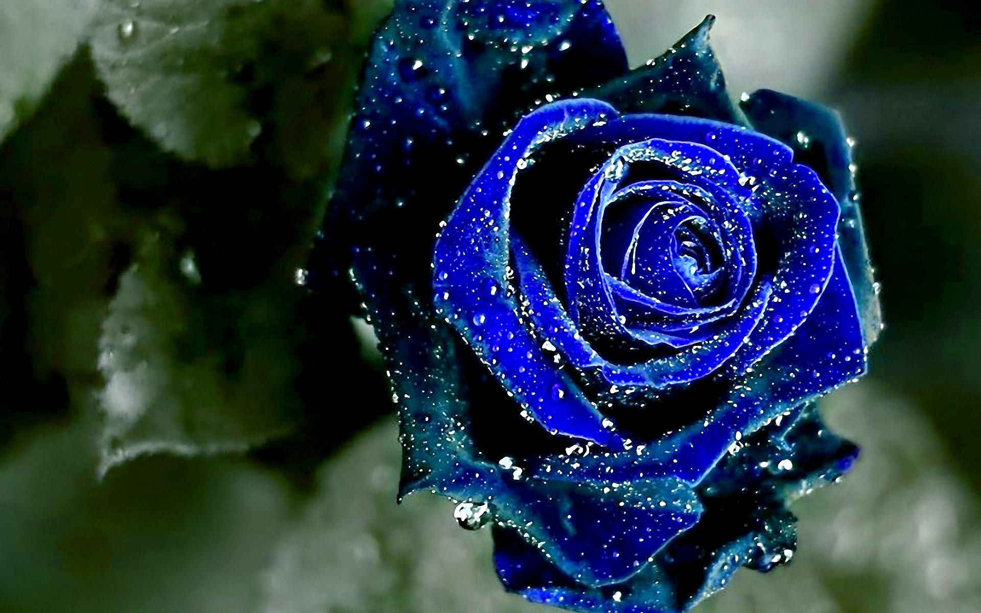 Black And White Blue Rose