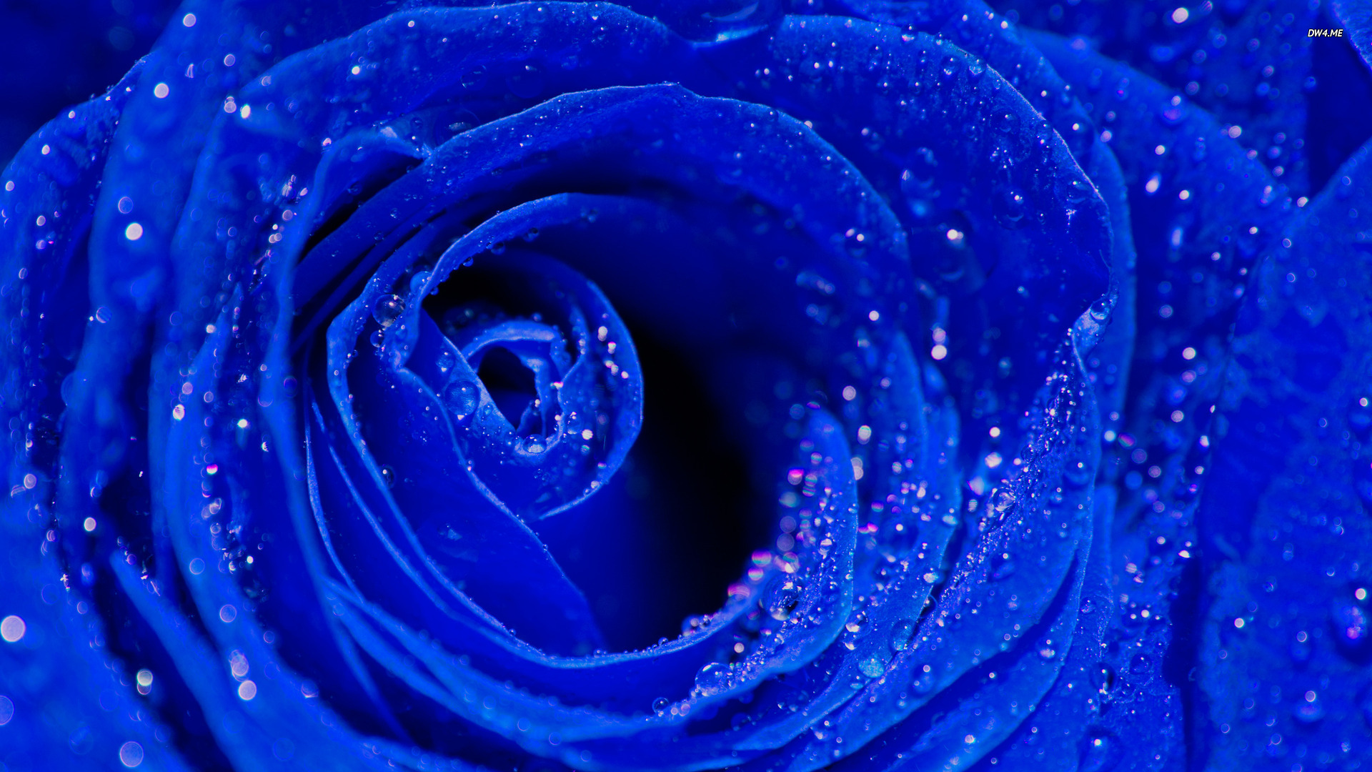 Fantastic Wallpaper High Quality Blue - blue-roses-background_110701352  Perfect Image Reference_651882.jpg