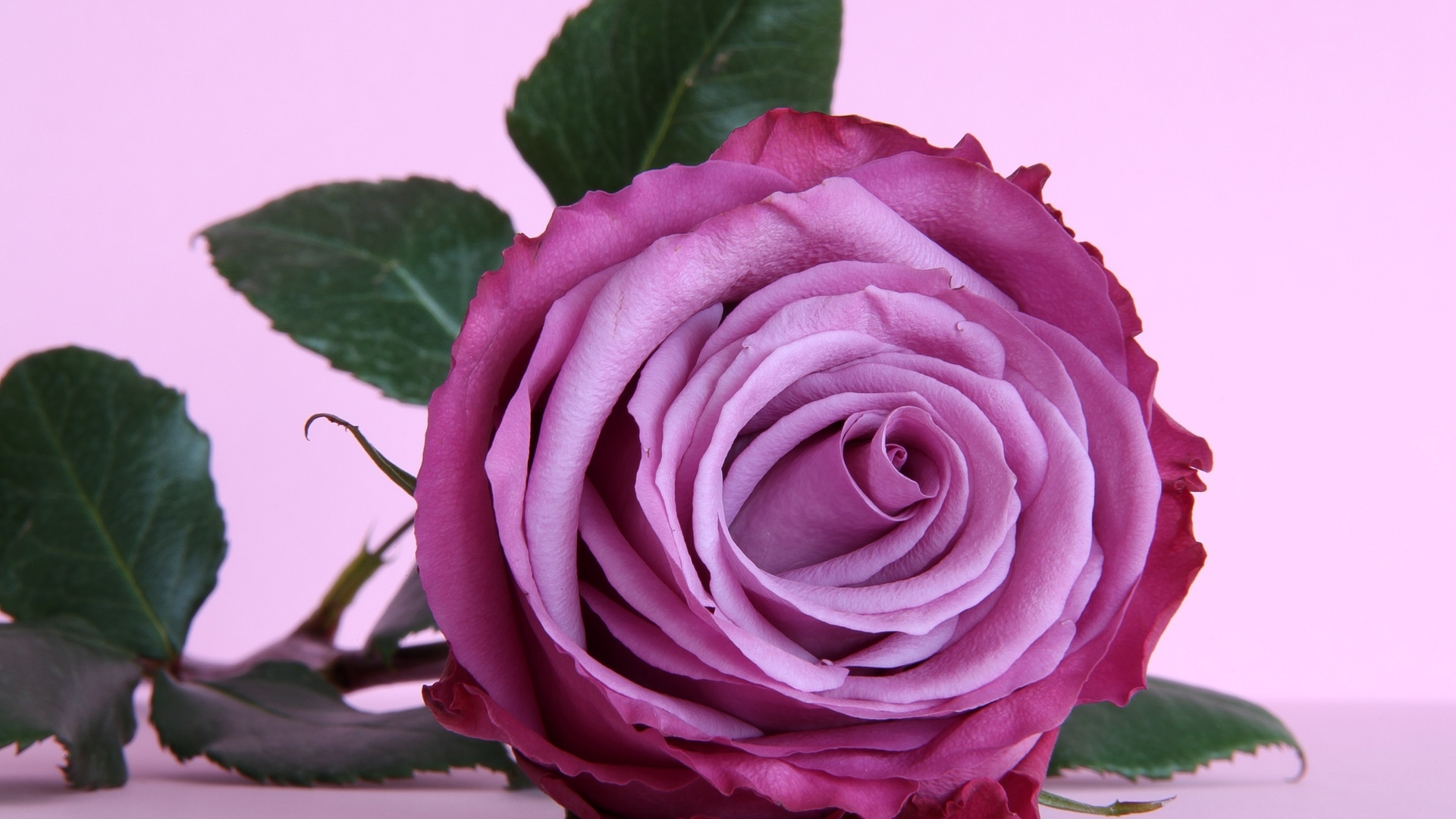 Lavender Rose Background