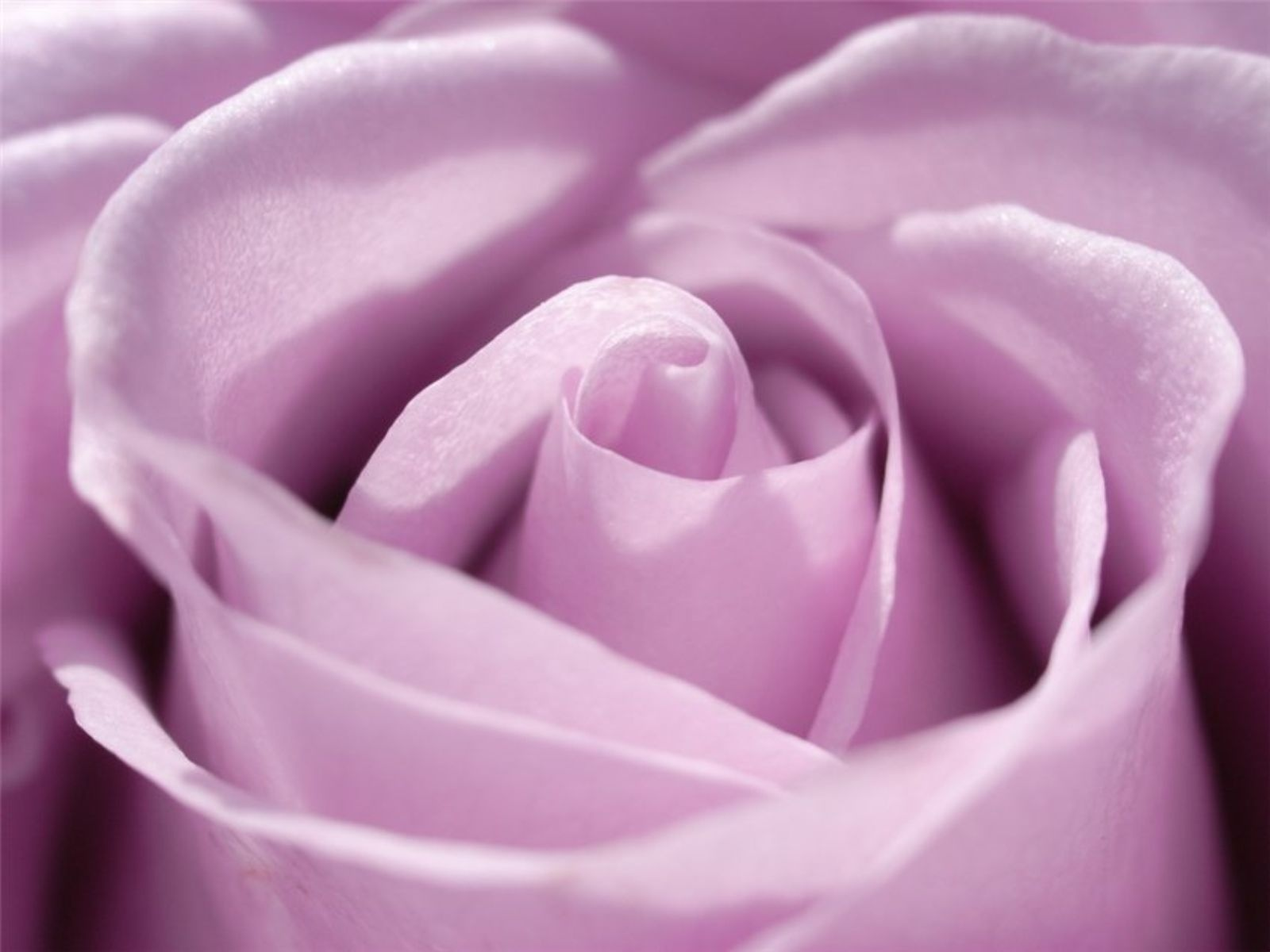 Light Purple Rose Wallpaper Light Purple Roses Wallpaper