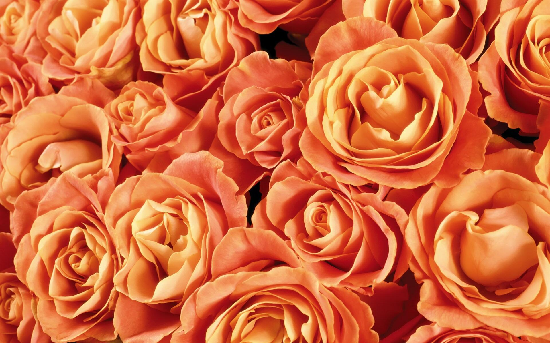 Orange roses backgrounds wallpaper high definition for The meaning of orange roses