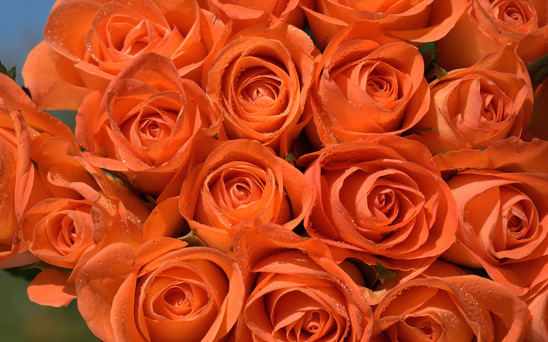 Orange RosesOrange Roses Wallpaper