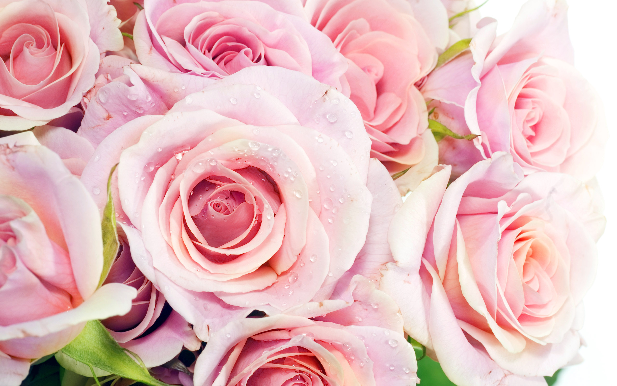 Pink Roses Backgrounds Wallpaper High Definition High Quality