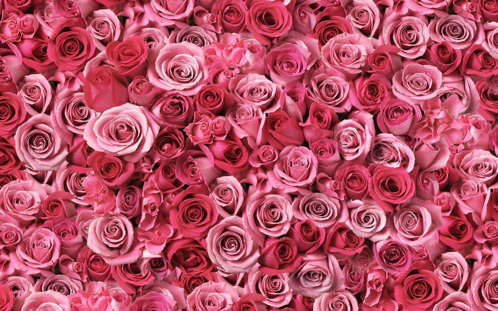 Pink Roses Wallpaper Wallpaper High Definition High Quality
