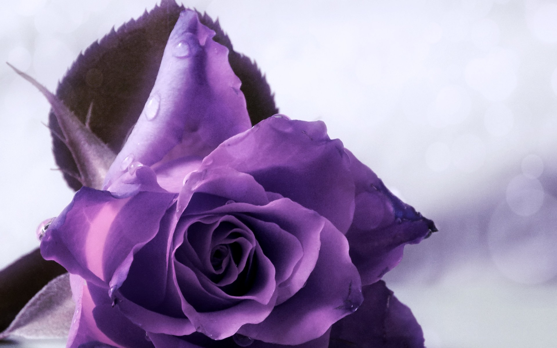 Purple rose backgrounds wallpaper high definition high for Purple rose pictures