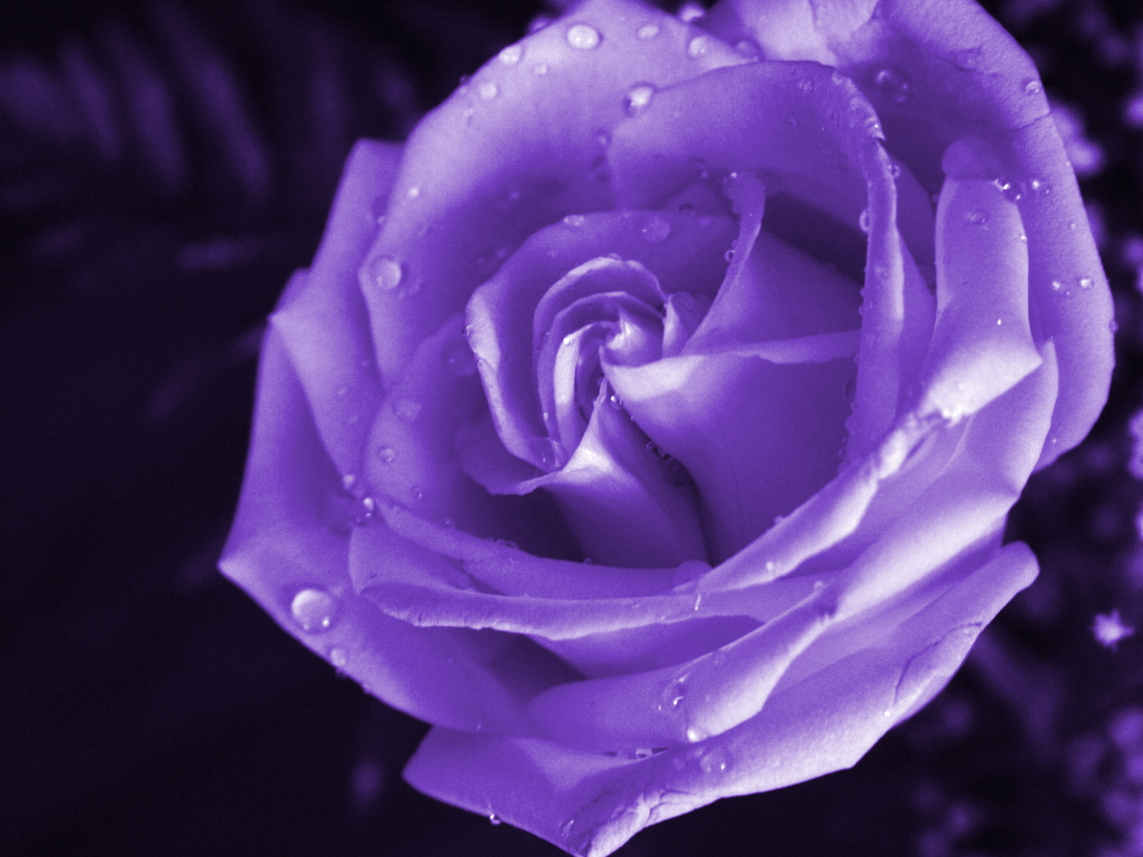 wallpapers of purple roses - photo #2