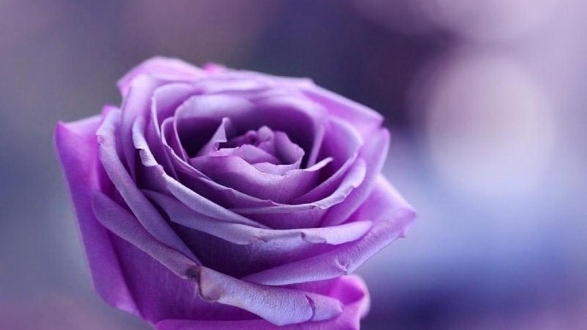 purple roses background wallpaper high definition high