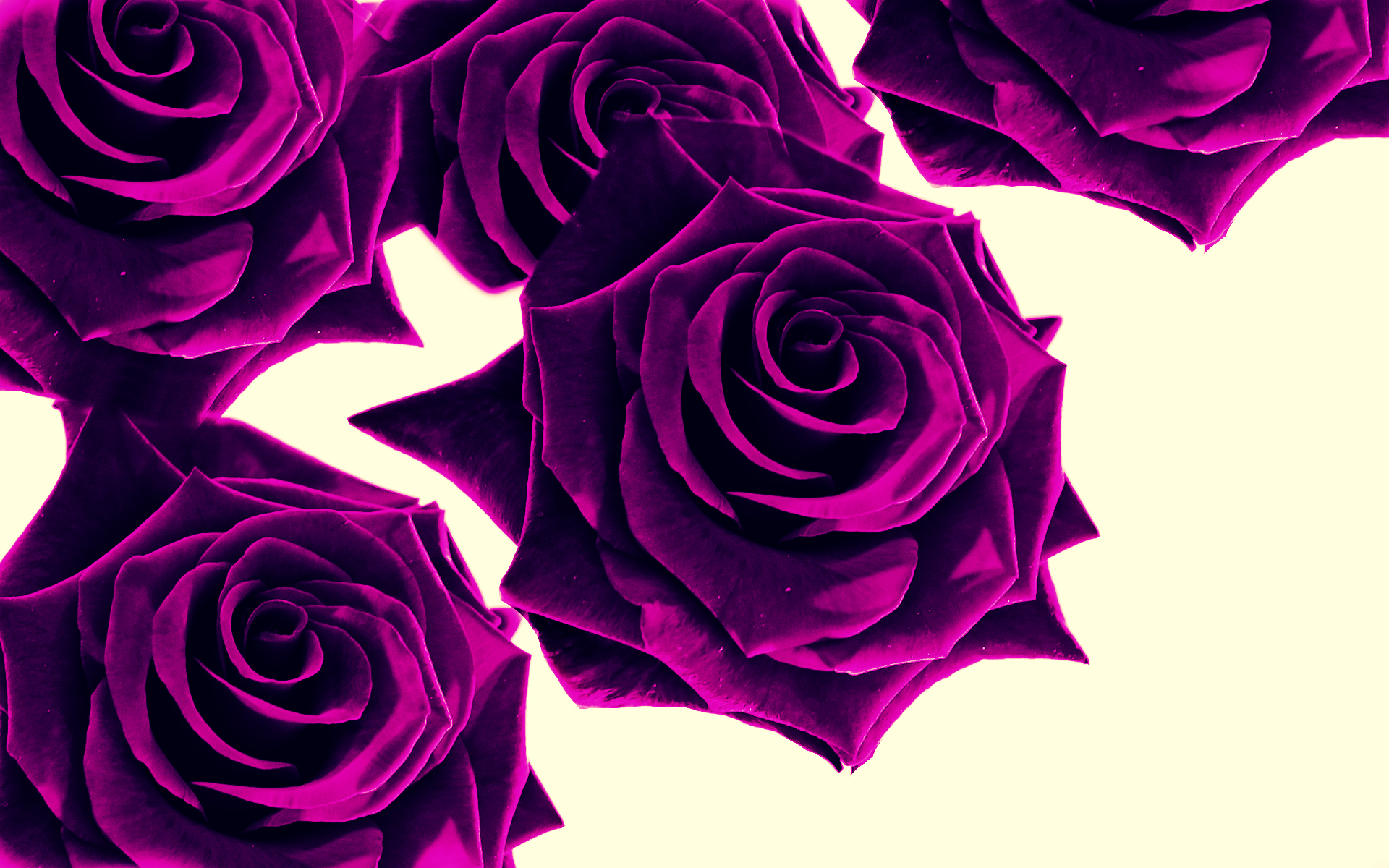 wallpapers of purple roses - photo #7
