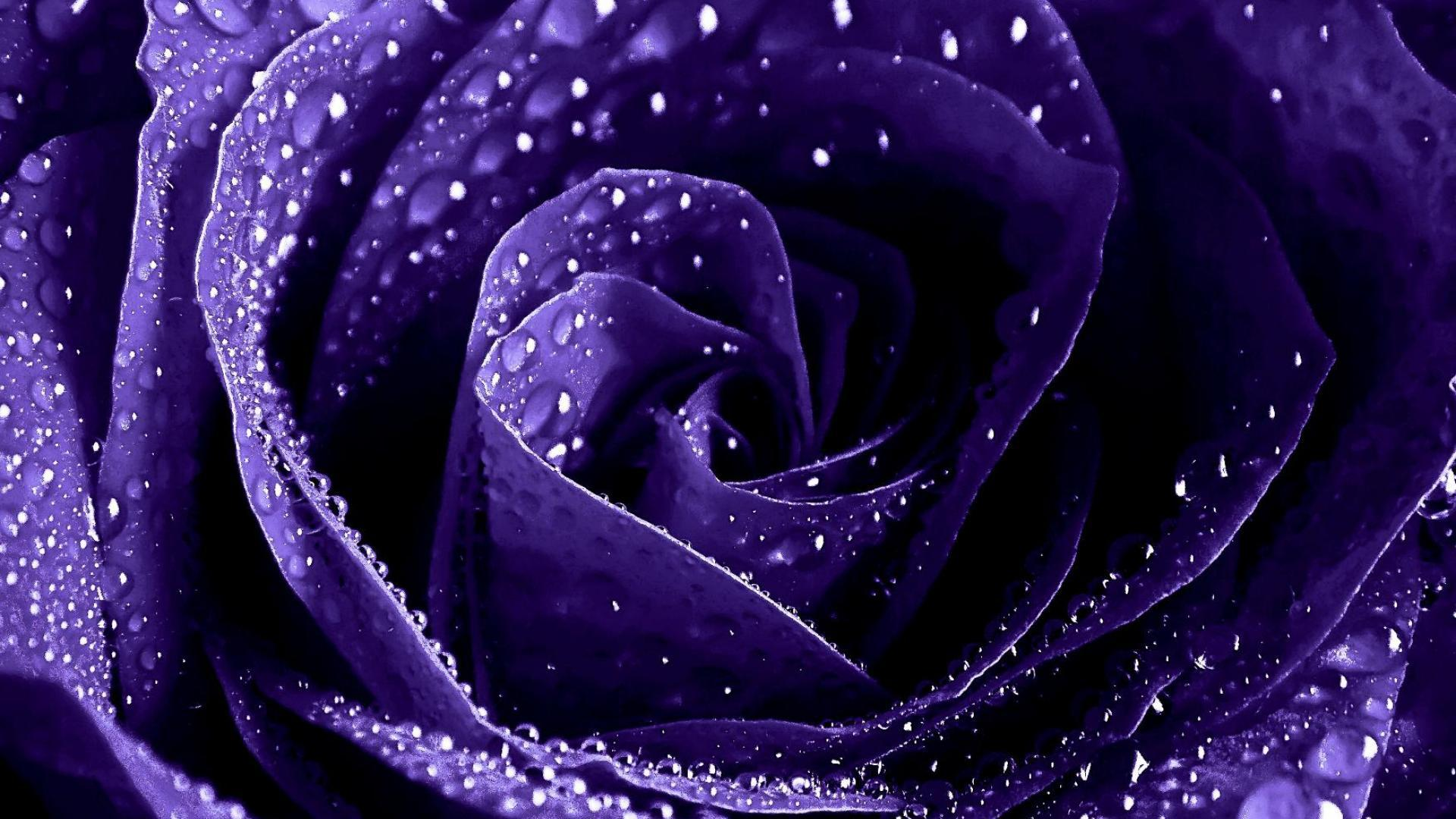 Most Inspiring Wallpaper High Quality Purple - purple-roses-wallpapers_110930552  Collection_1003150.jpg