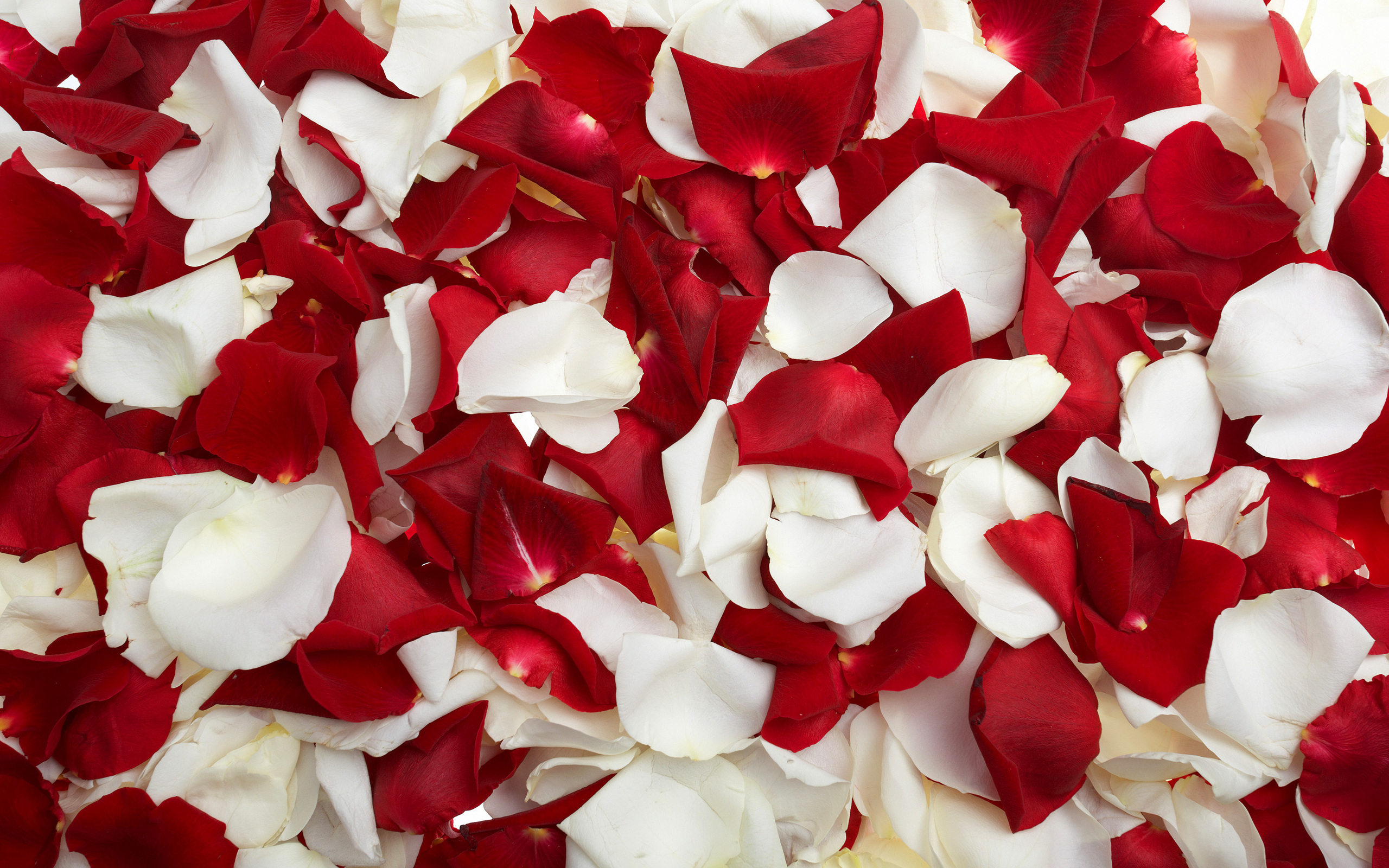 Red And White Roses Wallpaper High Definition High Quality