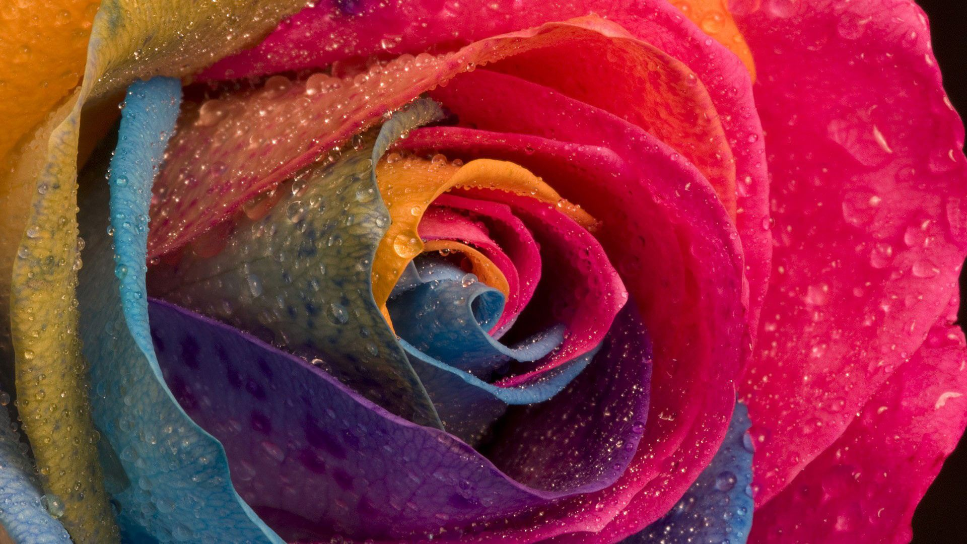Roses 1080p wallpaper high definition high quality for Dual color roses