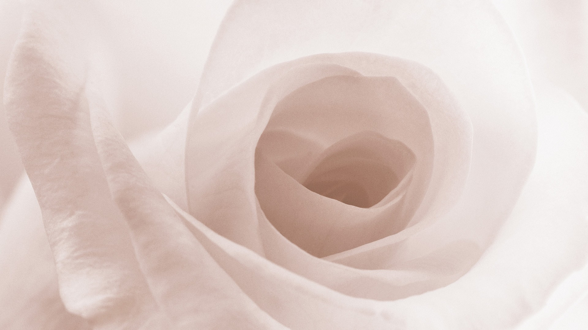 White Rose Background  Wallpaper High Definition Quality