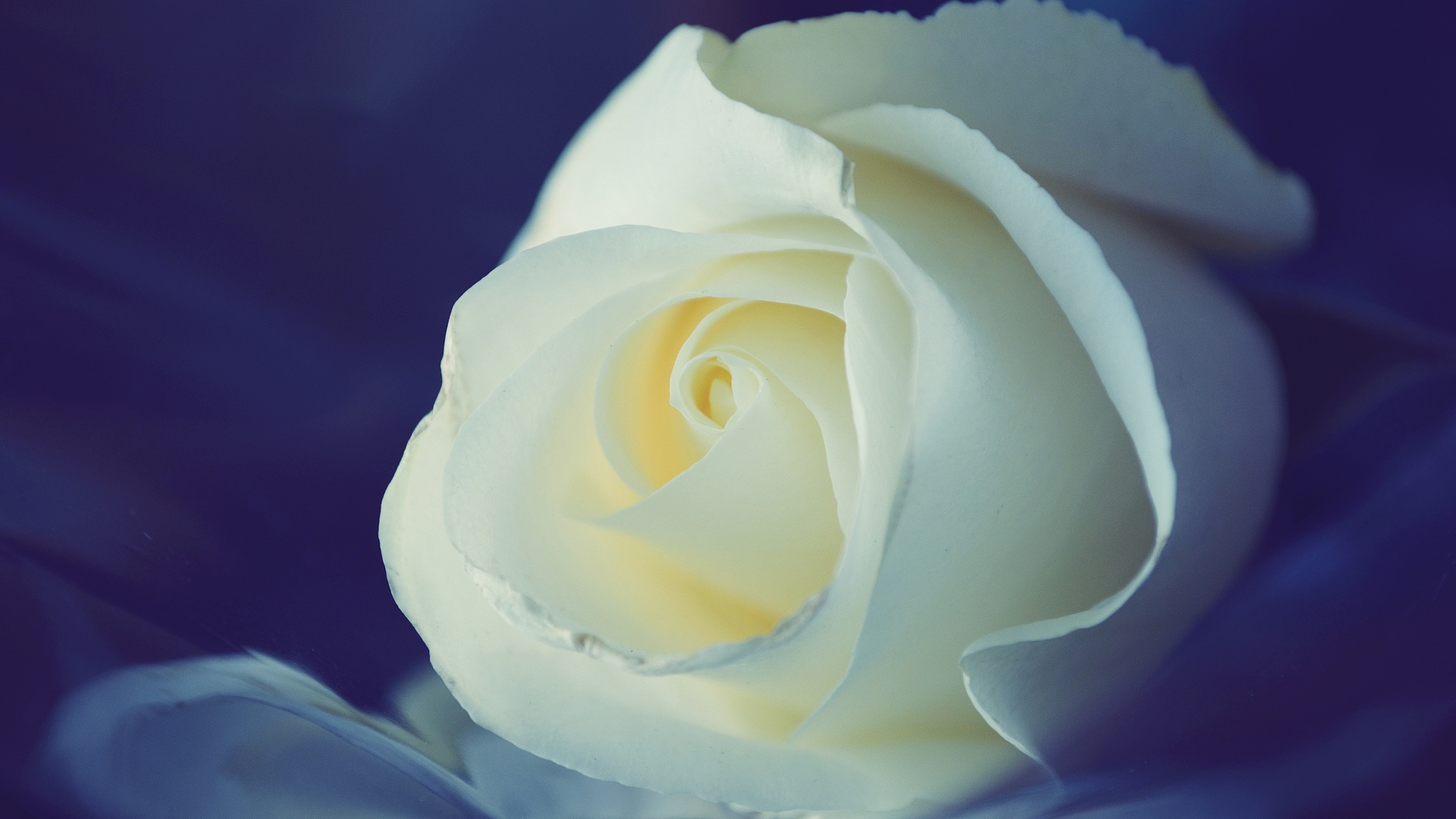 white rose backgrounds wallpapers - photo #10