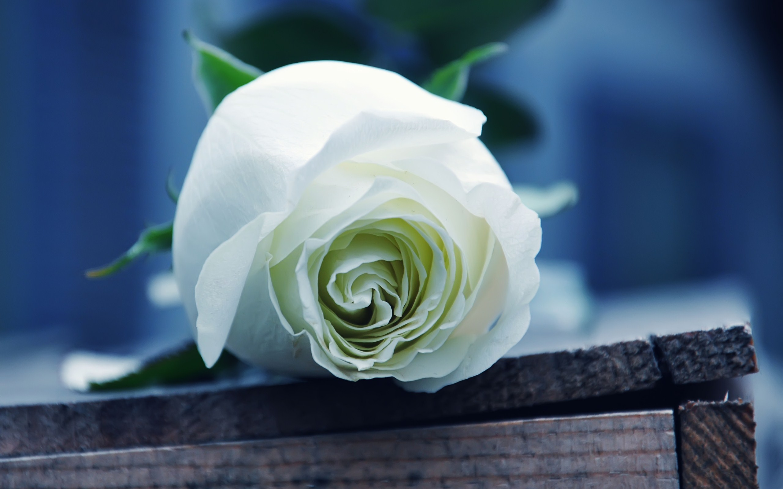white rose wallpaper high definition high quality