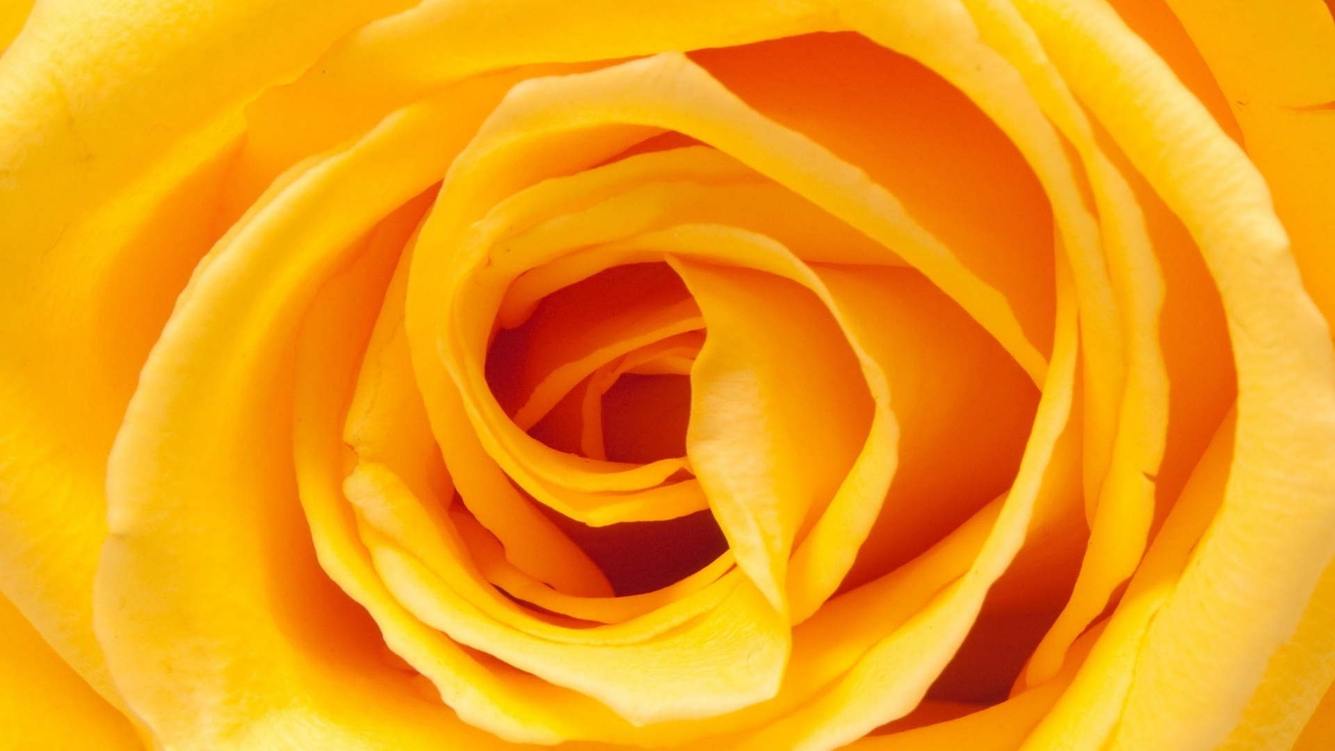 wallpaper of yellow roses - photo #39